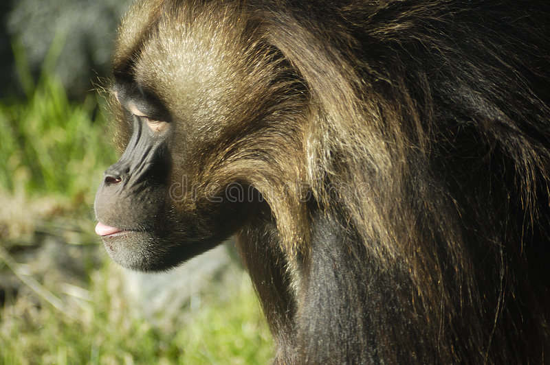 Download Primate Profile stock image. Image of tongue, brown, head - 7318913