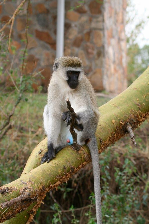 Primates de Tanzania imagen de archivo