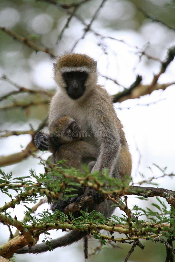 Primates de Tanzania imagenes de archivo