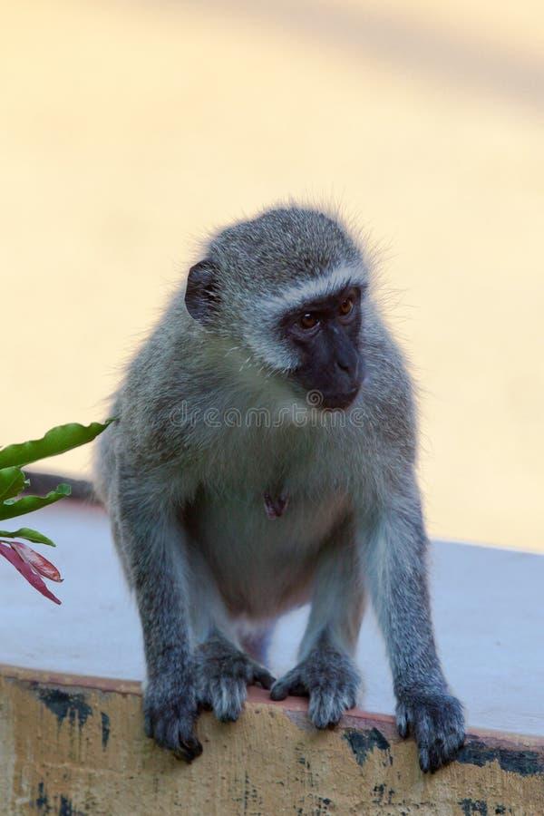 Primates de Tanzania imágenes de archivo libres de regalías