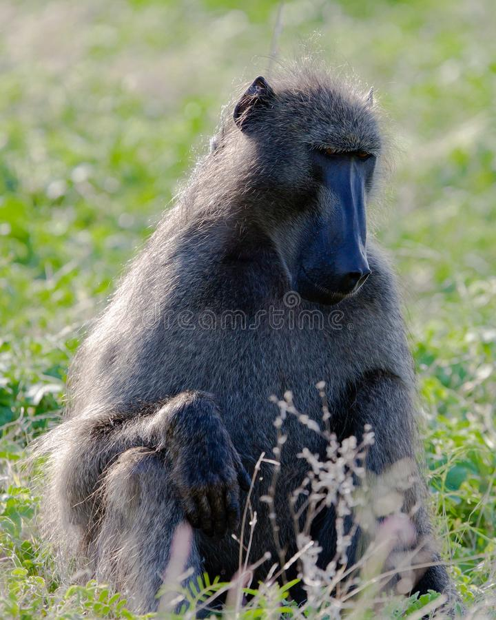 Primates de Tanzania fotografía de archivo