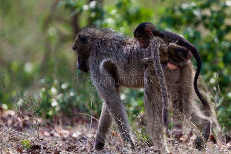 Primates de Tanzania imagen de archivo libre de regalías