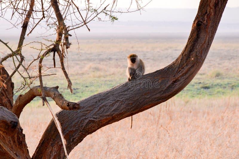 Primates de Tanzania foto de archivo