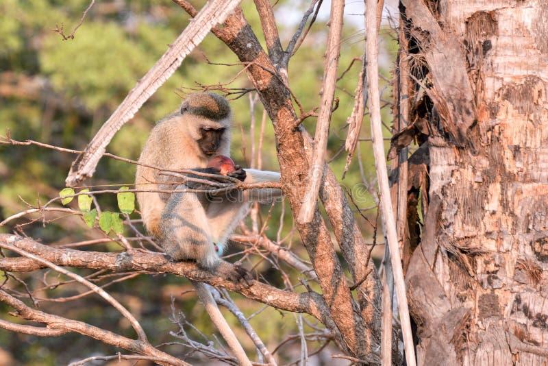 Primates de Tanzania fotografía de archivo libre de regalías