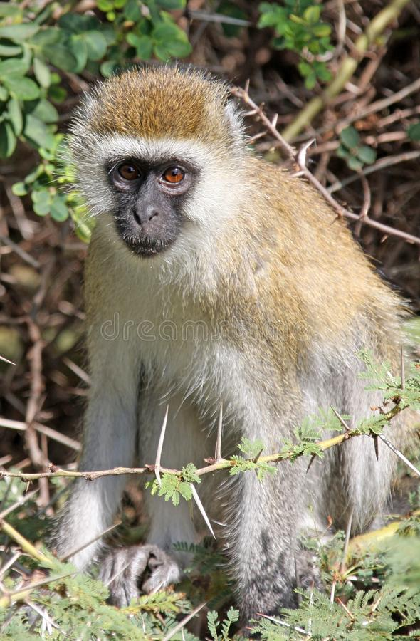 Primates de Tanzania fotos de archivo libres de regalías