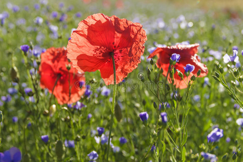 primavera Amapolas en un campo de flores azules Apulia, ITALIA foto de archivo libre de regalías