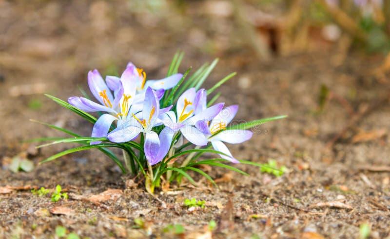 Primavera bianca e croco porpora che fiorisce durante il giorno di primavera soleggiato in anticipo immagini stock