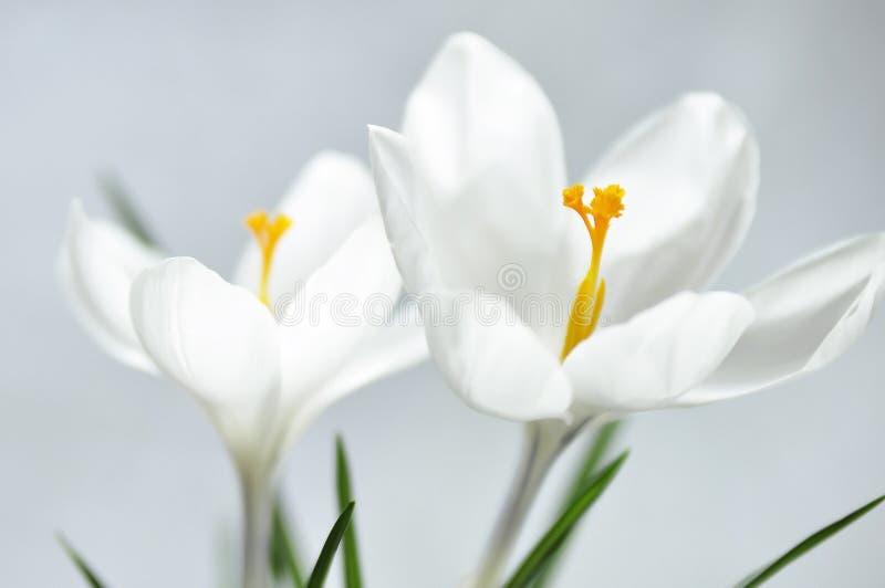 primavera blanca del azafrán imagenes de archivo