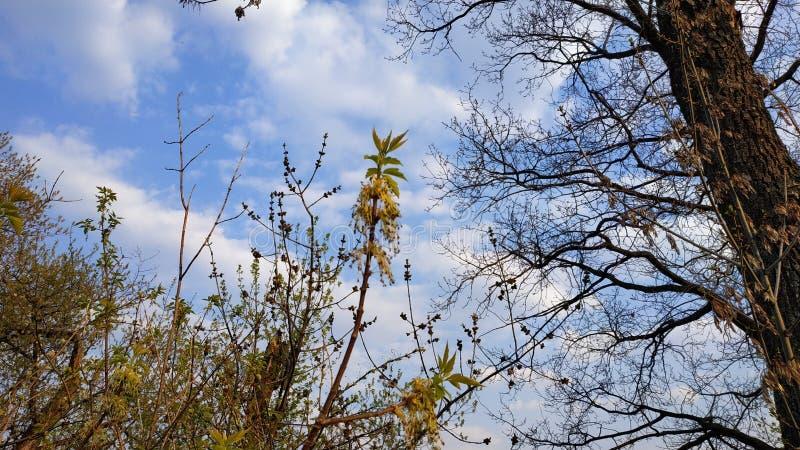 Primavera Brotes en el ?rbol ?rbol de la primavera contra el cielo azul imagen de archivo libre de regalías