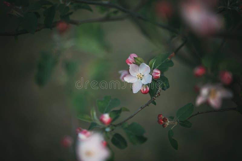 Primavera che fiorisce fiore di ciliegia bianco e rosa immagine stock libera da diritti