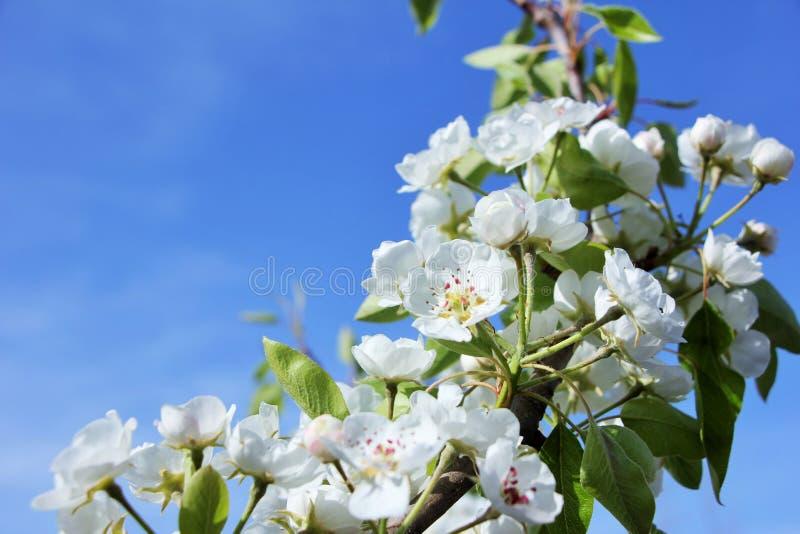 Primavera che fowering immagini stock