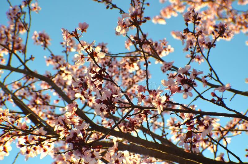 Primavera Cherry Blossoms immagini stock libere da diritti