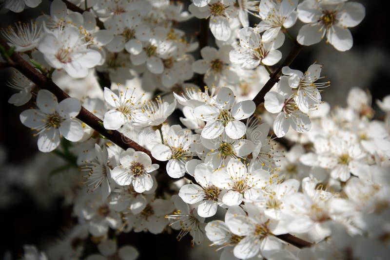 Primavera Ciruelo floreciente Muchas flores blancas fotografía de archivo libre de regalías