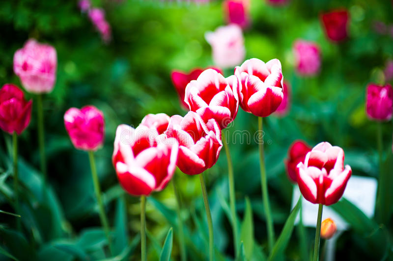 primavera com campo colorido bonito da tulipa Fundo bonito da flor Ideia surpreendente da florescência cor-de-rosa brilhante das  imagens de stock