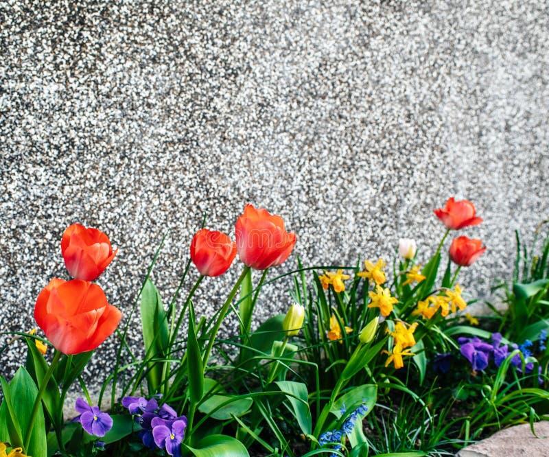 primavera con los tulipanes, los narcisos y el jardín de la casa de la petunia fotografía de archivo libre de regalías
