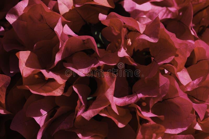 primavera cor-de-rosa floresce o close-up enchido buganvília do quadro imagens de stock royalty free