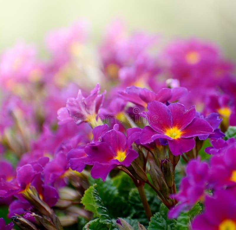Primavera De Julias De Los Juliae De La Prímula De Las Flores O ...