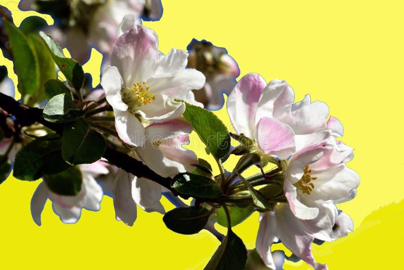 Primavera de las flores de la manzana libre illustration
