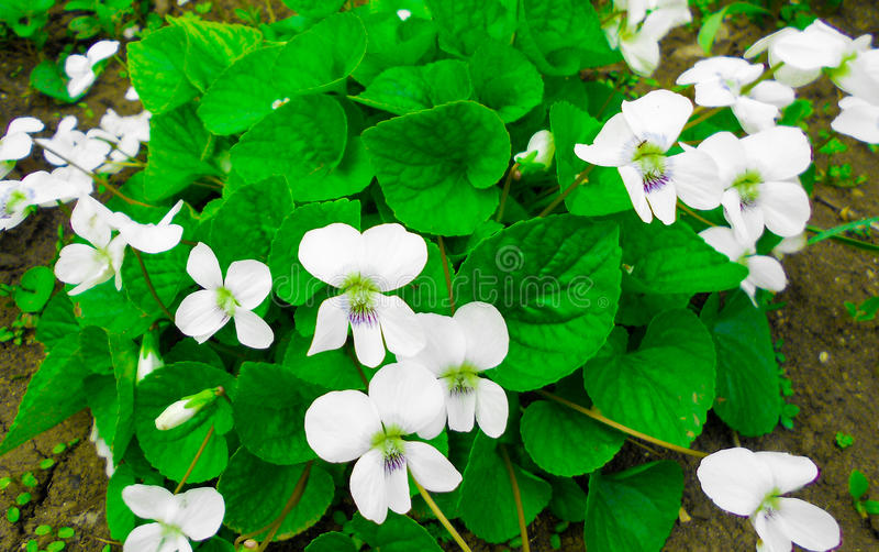 Primavera de las violetas blancas imagenes de archivo