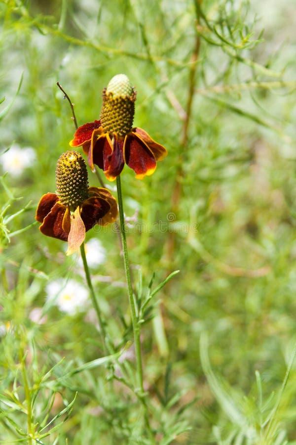 Primavera de los Wildflowers del sombrero mexicano imagen de archivo
