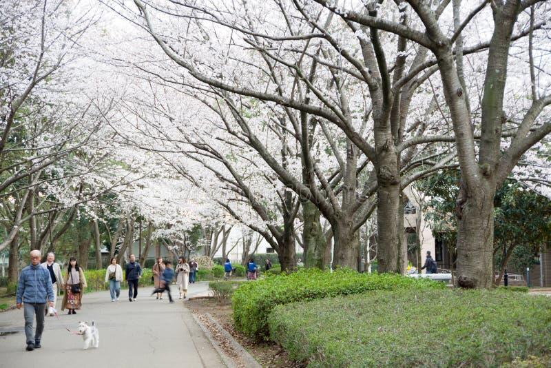 primavera de 2019 de ?rvores de cereja foto de stock