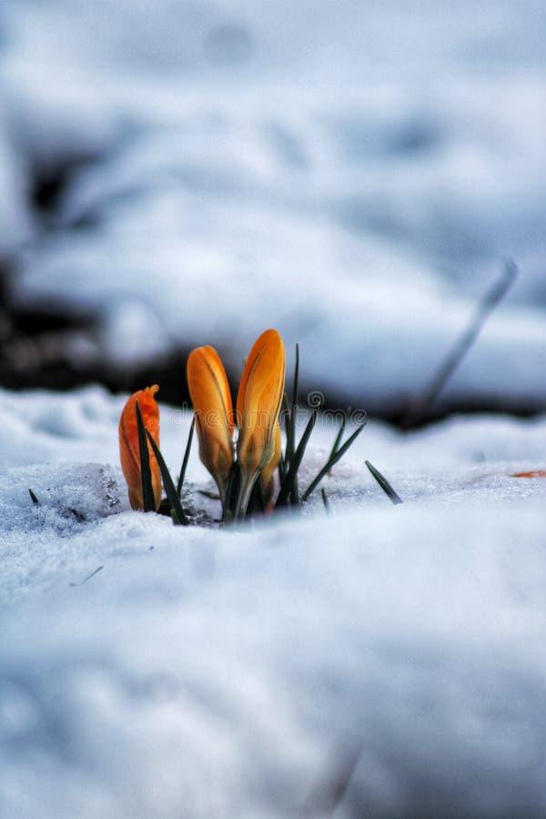 Primavera debajo de la nieve imagen de archivo libre de regalías