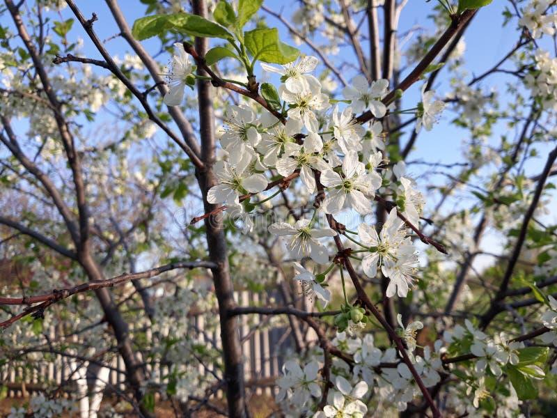 Primavera del bloosom del ciruelo imagenes de archivo