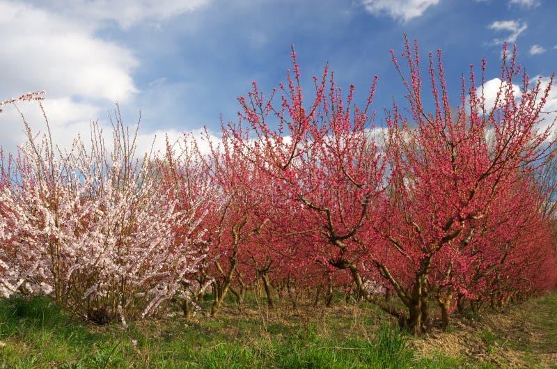 Primavera del jardín del melocotón imagen de archivo libre de regalías