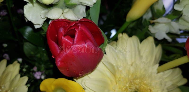 primavera di Flores tulipan fotografia stock libera da diritti