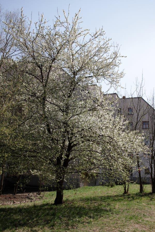Primavera ed albero di fioritura immagini stock