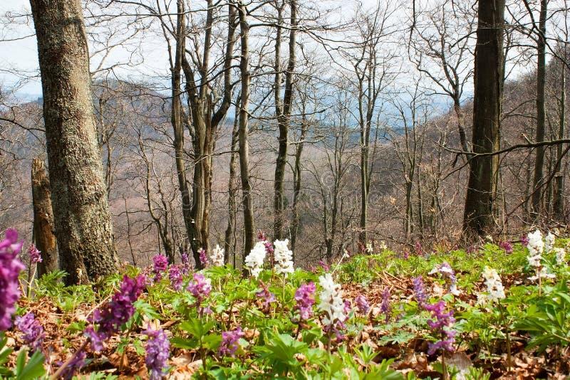 primavera em florescer a floresta decíduo da faia foto de stock royalty free