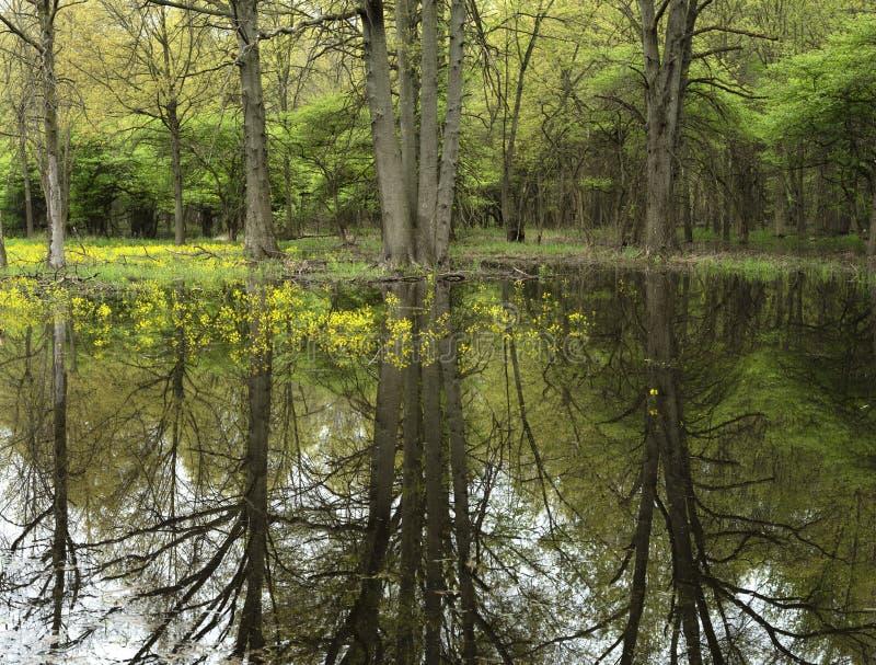 primavera em uma floresta de midwest fotografia de stock