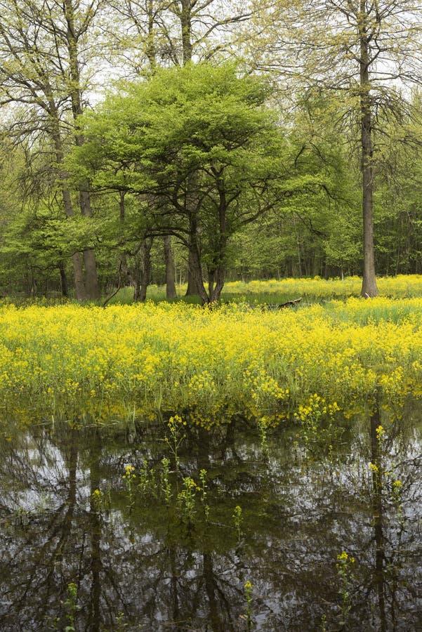 primavera em uma floresta de midwest imagem de stock