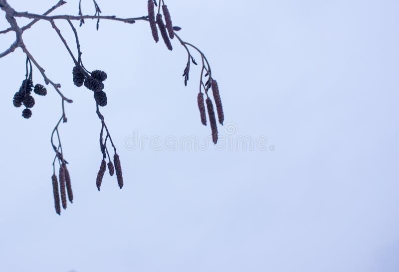 Primavera en bosque con los brotes y las ramas del ?rbol de aliso en fondo brillante del cielo azul fotografía de archivo libre de regalías