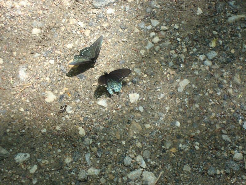 Primavera en Carolina Smokies del norte: Dos mariposas de Pipevine Swallowtail hacen frente apagado en un rastro fotos de archivo