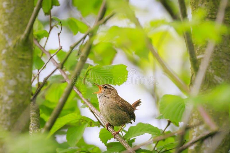 Primavera euroasiatica di canto dell'uccello delle troglodite di Wren Troglodytes immagini stock libere da diritti