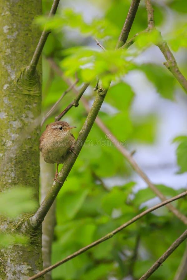 Primavera euroasiatica di canto dell'uccello delle troglodite di Wren Troglodytes fotografie stock libere da diritti