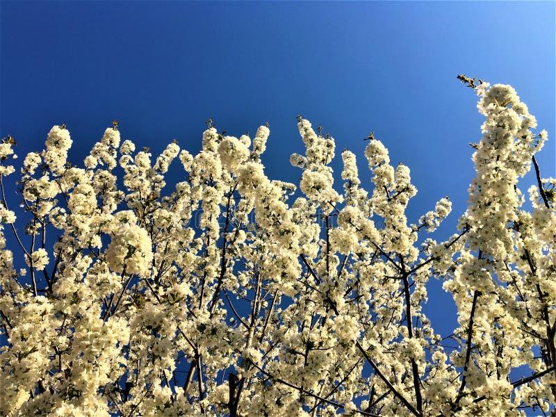 Primavera, fiori bianchi, luce e cielo immagine stock