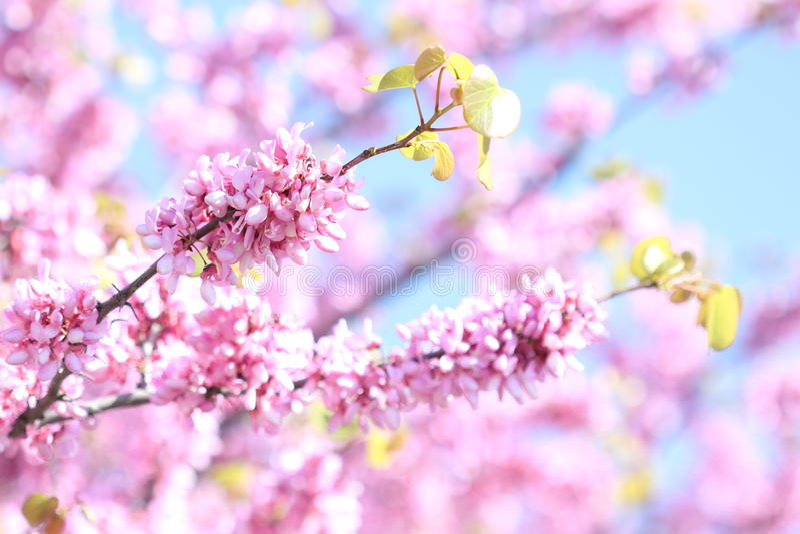Primavera - fioriture sul cespuglio fotografia stock libera da diritti