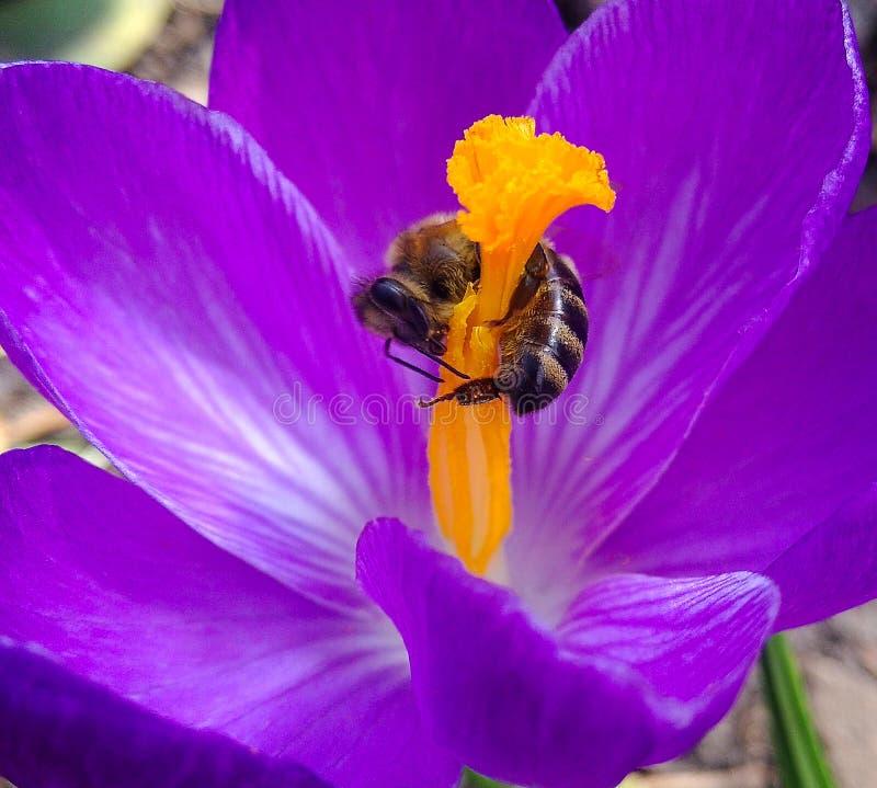 Primavera, flor y abeja Abeja en la primavera del azafrán de la flor abeja en un cierre de la flor para arriba Foco selectivo imagenes de archivo