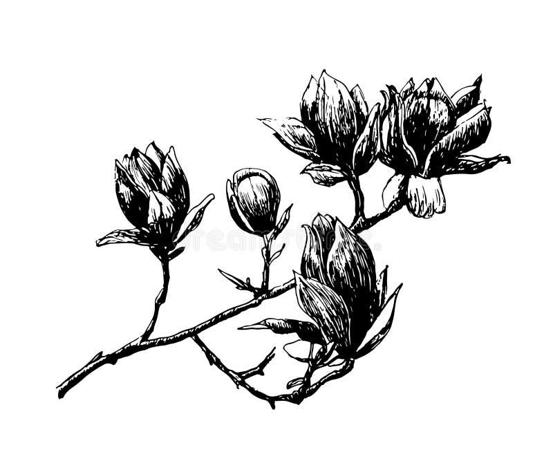 Primavera floreciente de dibujo de la rama de la magnolia, ejemplo a mano ilustración del vector