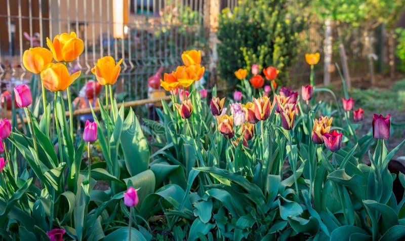 Primavera floreciente de los tulipanes multicolores en el jardín fotos de archivo libres de regalías