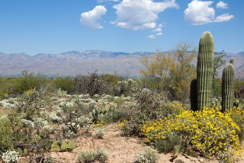 Primavera floreciente del desierto en parque nacional de Saguaro, Arizona imagen de archivo