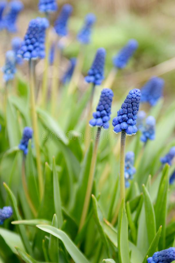 Primavera Flores azules hojas del verde imágenes de archivo libres de regalías