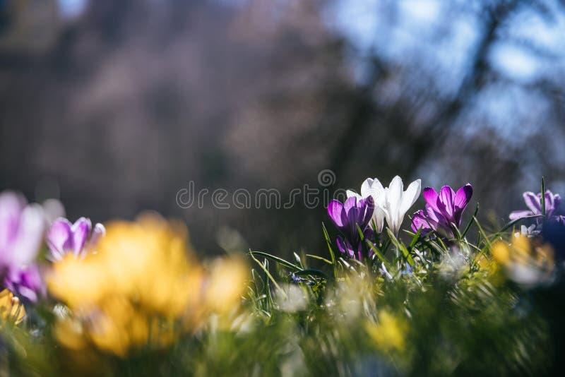 primavera Flores da mola na luz solar, natureza exterior Açafrão selvagem, cartão fotografia de stock