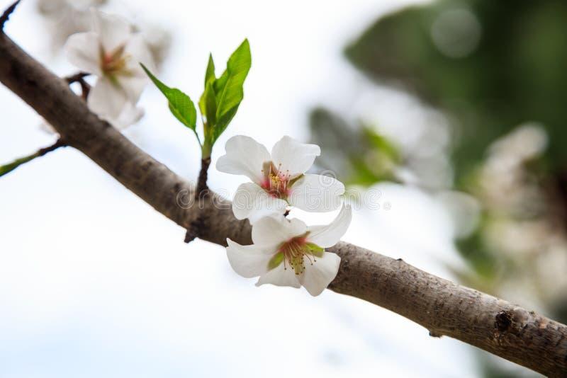 primavera Flores de florescência do branco no ramo de árvore da amêndoa foto de stock royalty free