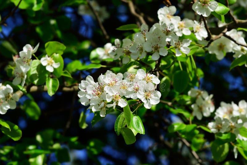 Primavera Flores de la pera imagenes de archivo