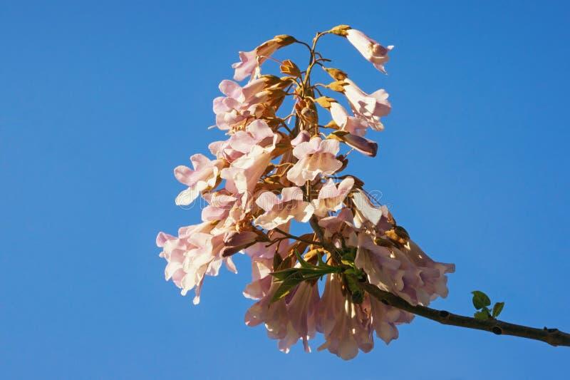 primavera Flores del árbol del tomentosa del Paulownia contra el cielo azul fotos de archivo