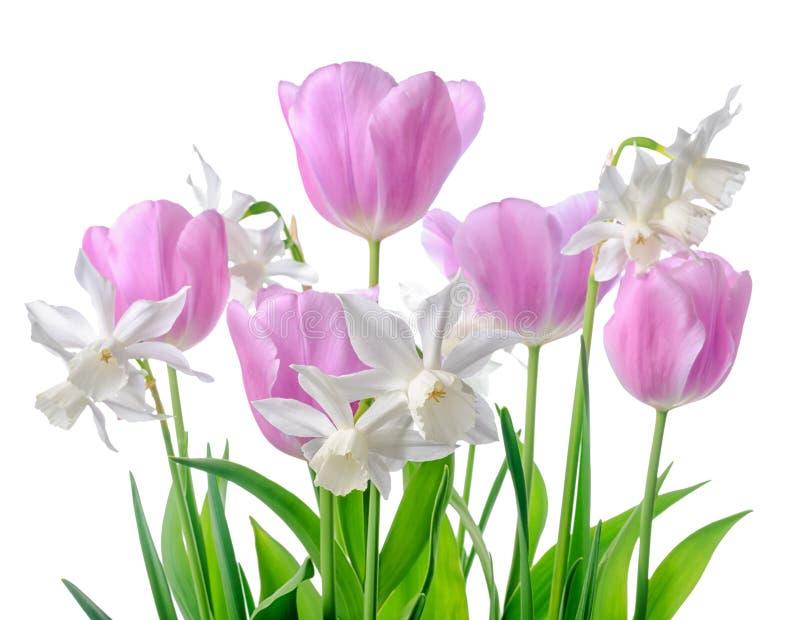 Primavera hermosa blanca, narciso rosado y flores del tulipán aislados imagenes de archivo
