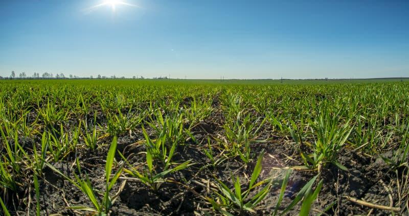 Primavera, i raccolti del frumento autunnale, giovani tiri contro il cielo blu ed il sole della molla fotografia stock